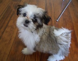 how to pick a good shih tzu puppy