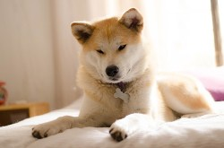 Image of a Japanese Akita relaxing on the bed