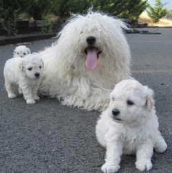 komondor puppies and mom resting in the driveway