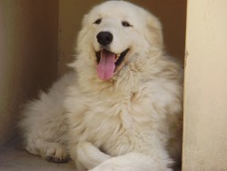 Kuvasz temperament