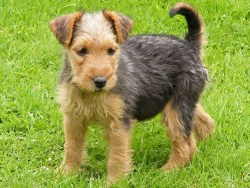 lakeland terrier puppy looking to get into trouble