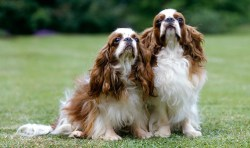 list of toy breed dog