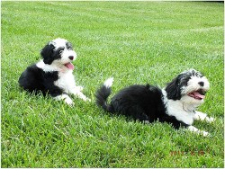 Two Lowchen puppies having some fun in the grass