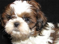 male shih tzu puppies price