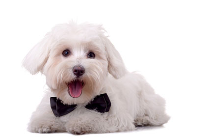 picture of a maltese dog - small dog breeds