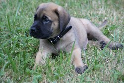 Mastiff puppy laying in the grass just relaxing