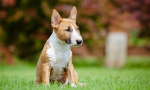 miniature bull terrier standing looking amazing