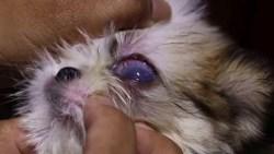 one eyed shih tzu