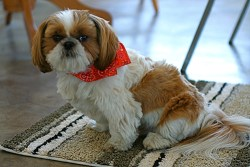 owning a Shih Tzu dog