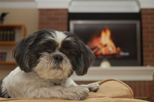 housetraining your shih tzu