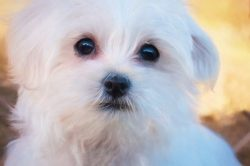 Maltese is said to be one of the oldest breeds