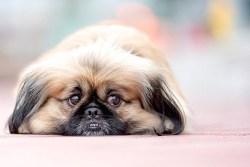 Pekingese laying down on a lazy day