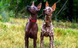 two Peruvian Inca Orchid dogs looking at something intriguing