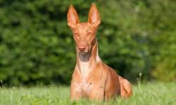 pharaoh hound looking majestic