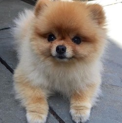 The cutest and most cuddly looking pomeranian puppy