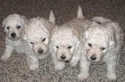 4 adorable Puli puppies just waiting to be adopted