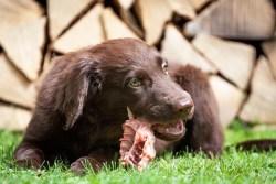 dog on grass enjoying a raw bone for dinner