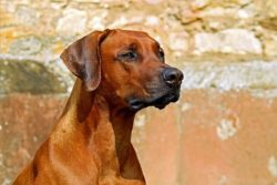 rhodesian ridgeback looking handsome
