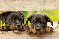 two adorable Rottweiler puppies looking through a fence