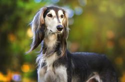 saluki dog looking off into the distance