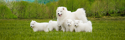 Samoyed mother with her 4 Samoyed puppies