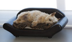 Scottish Terrier sleeping in its bed