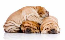 Three Shar-Pei puppies laying on top one another for warmth