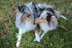 two Shetland Sheepdogs relaxing together