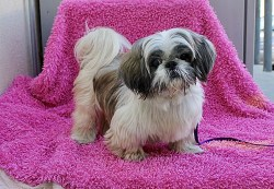 shih tzu adult dogs