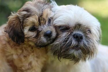 Shih Tzu companionship: Image of two dogs cuddling