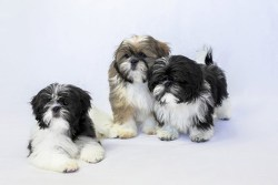 three shih tzu rescue dogs hanging out ready to be find their forever home