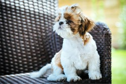 Image of a Shih Tzu dog