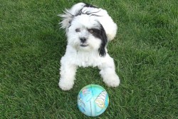 Cute Shih Tzu with his ball waiting to play fetch