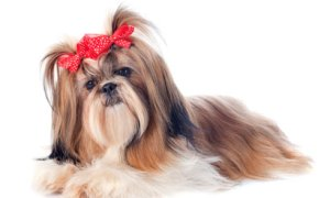 Shih Tzu Grooming Products for a Basic Grooming Kit