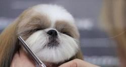 shih tzu grooming requirements