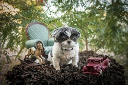 shih tzu in need of home