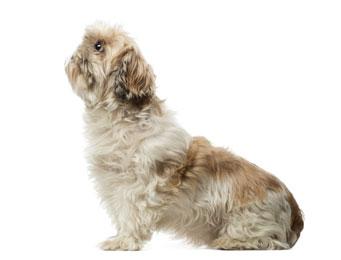 picture of shih tzu dog looking up - shih tzu training  tips