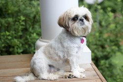 White and tan Shih Tzu sitting on the porch looking regal and intelligent