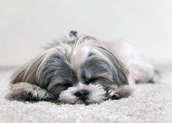 Shih Tzu puppy beds made from cotton or wool