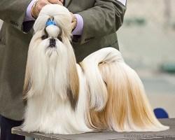 shih tzu show dog