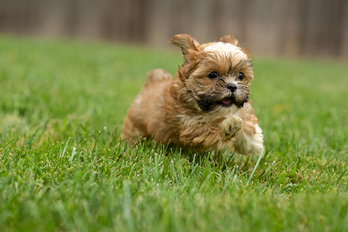 image of a shih tzu yorkie mix running on grass