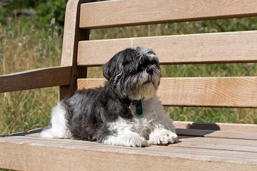 shih tzu's history - shih tzu relaxing on the bench