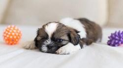 Cute Shih Tzu puppy loves his toys