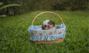 shih tzu puppy or adult