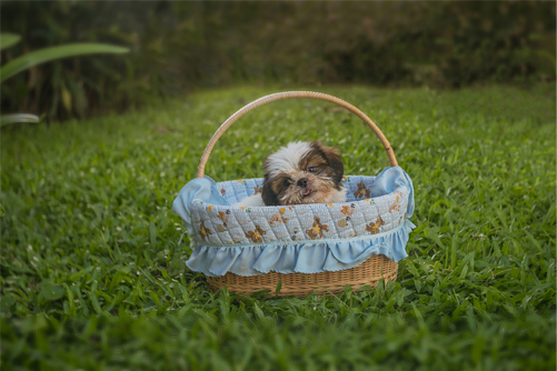 shih tzu puppy or adult