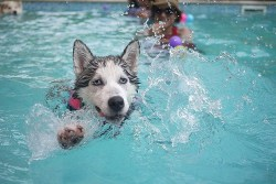Siberian Husky having fun in a swimming pool with its parents