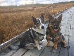 Two Swedish Vallhund enjoying their time in the country