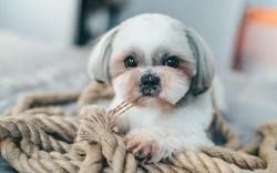 Beautiful white Shih Tzu puppy lying down on ropes