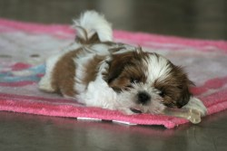 the history of the shih tzu dog