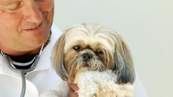 the perfect dog Shih Tzu with vet